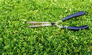 Garden shears on privet hedge