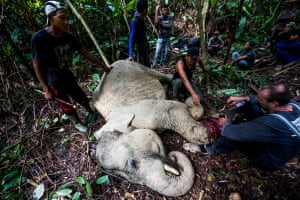 Field veterinarians from the Syiah Kuala University's Center for Wildlife Studies together with Leuser Conservation Forum (FKL) work to save the leg, and the life, of a sedated elephant