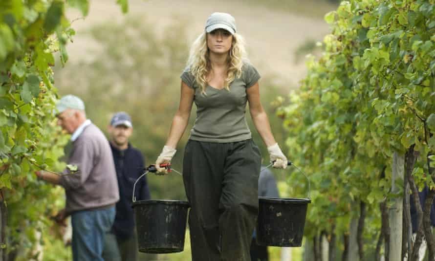 Harvest workers at Chapel Down's Tenterden Vineyard, Kent.