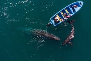 Guerrero Negro, MexicoGray whales swim near a whale watching boat at Ojo de Liebre Lagoon. Each year hundreds of North Gray Whales travel thousands of miles from Alaska to the Baja California Peninsula breeding lagoons