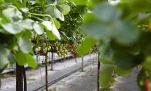Strawberries growing at Canalside Farm Shop.