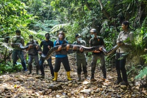 Wildlife rangers hold a sedated 9m-long python.
