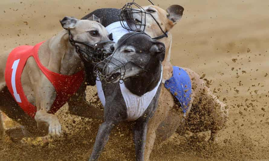 Dogs fight for a mechanical rabbit behind a race finishing line. The MacSporran inquiry found the 'archaic and barbaric practice' of live baiting was likely to be widespread.