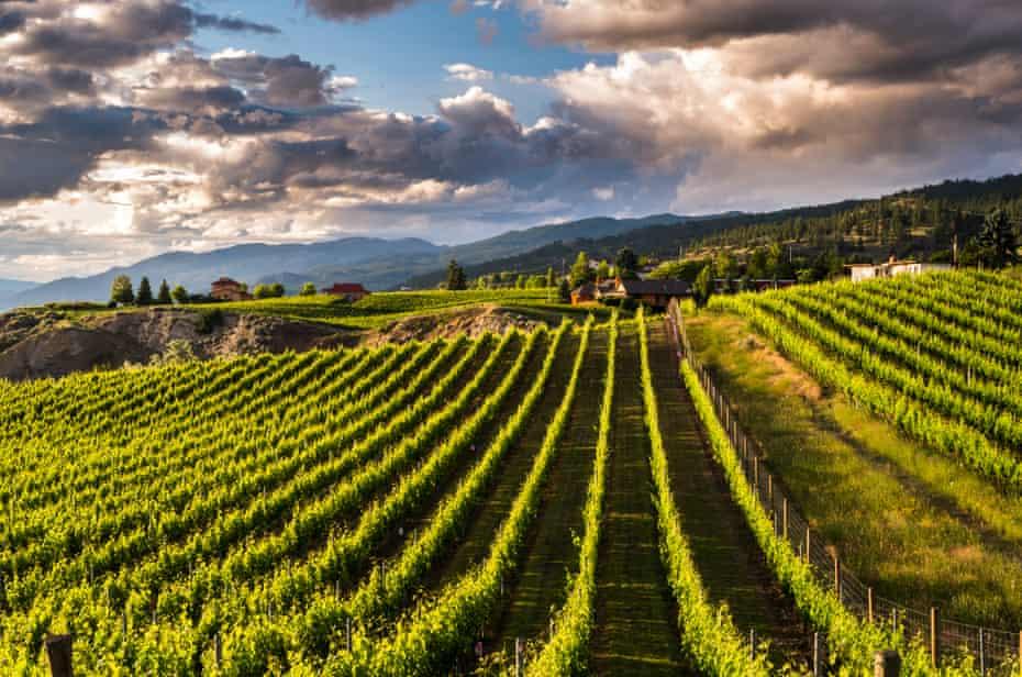 Vineyards in the Okanagan Valley.