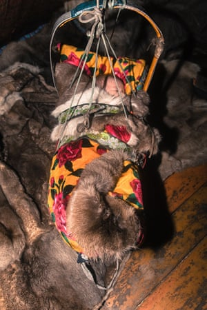 The Nenets have specific adaptations for migrating safely with newborns across one of the harshest climates on earth. Ne Khan (women's sledges) are designed to accommodate infants in cradles. Cradles are usually made from wood in an egg-shaped design with four hooks so they can be hung from the poles in the chum. The cradle is packed with dried moss, which serves as a nappy for the baby absorbing any liquid, and is easily replaced while migrating