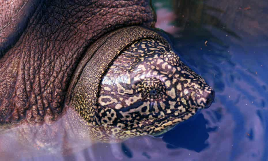 Close-up of the head and pattern of the Rafetus swinhoei turtle.