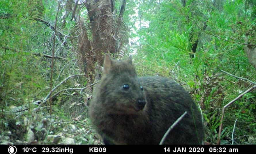 A quokka is photographed on a camera trap near Northcliffe in Western Australia. Five years after a severe bushfire nearly wiped out the area's quokka population, research indicates they may not fully recover for more than a decade.