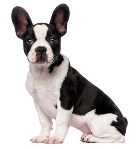 French Bulldog puppy (3 months old) against white background