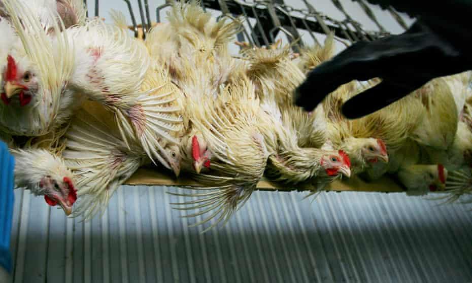 A chicken farm in Thailand