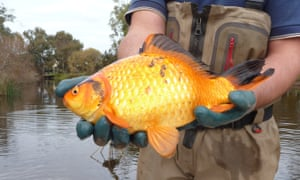 A giant goldfish found in a river in south-west Australia.