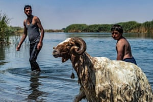 A sheep runs up to shore in the Euphrates river waters in the countryside of Raqqa, Syria, amid a heatwave and low river water levels