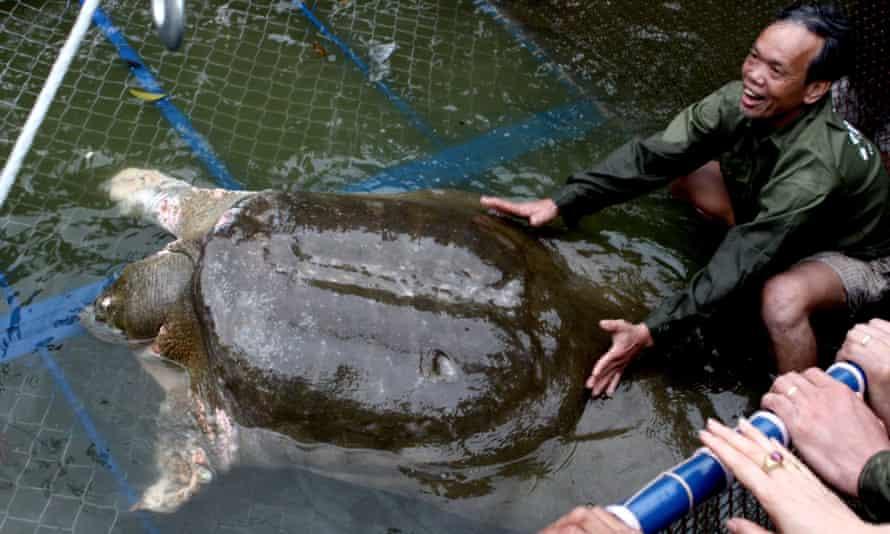 A Yangtze giant softshell turtle.