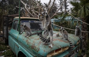"""Santiago, ChileRing-tailed lemurs sit on the bonnet of a vehicle while feeding inside Buin Zoo. The largest private zoo in Chile is experiencing serious economic problems due to the closure of its doors as a result of the prolonged quarantine measures. It has started a campaign called """"Sponsor an Animal"""", to raise money to maintain the animals."""