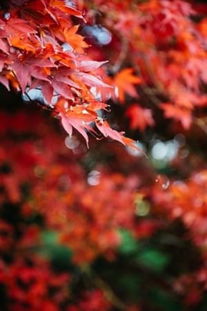 Acer's autumn colour at Westonbirt