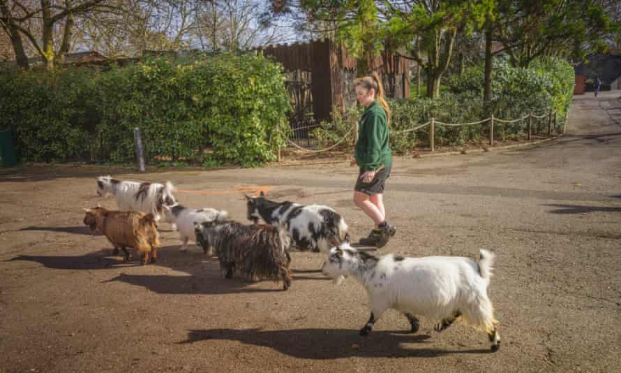 The Nigerian Dwarf Goats and Pygmie goats have really missed the human interation they would usually. have with visitors. They are one of the few species where visotors ARE enbcouraged to pet and stroke them. They really enjoy the stimulation.