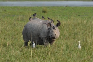 A one horned rhino grazes at the Pobitora Wildlife Sanctuary in Assam, India