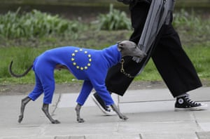Whippet in EU outfit