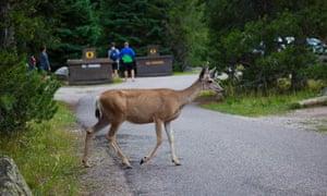 A mule deer at Jenny Lake Campground, Grand Teton