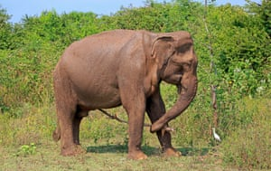 A Sri Lankan elephant holds a stick in his trunk as a tool