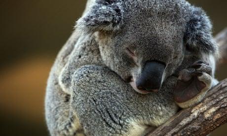 Federal minister gives green light for koala habitat to be bulldozed for Port Stephens quarry