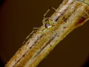 A mirror spider or Thwaiitesia argentiopunctat.