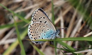 A female large blue on Rodborough Common