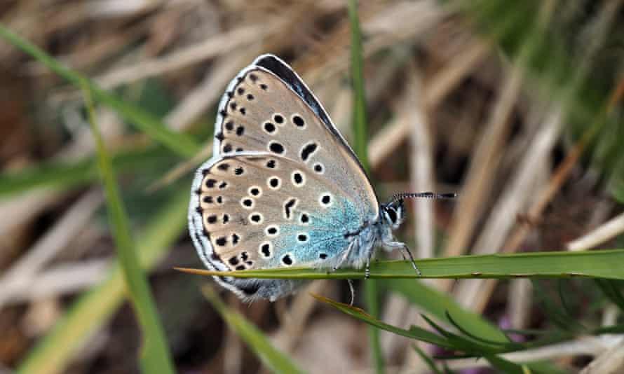 A female large blue on Rodborough Common