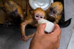 A baby langur monkey