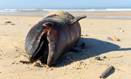 A dead dolphin lies on a beach of the Atlantic Ocean near Lacanau, south-west France