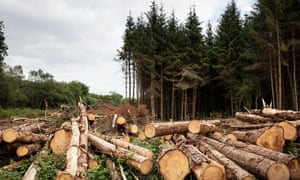 Felled Sitka spruces at a plantation in County Leitrim