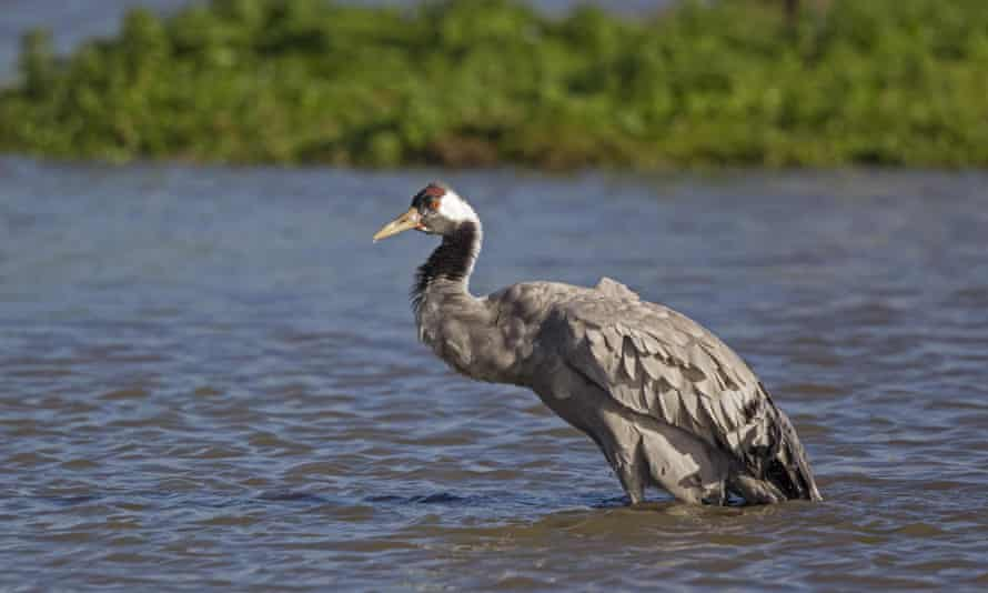 A crane standing in water