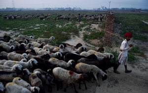 Lassa Ram, 30, leads his sheep out to graze at the start of the day
