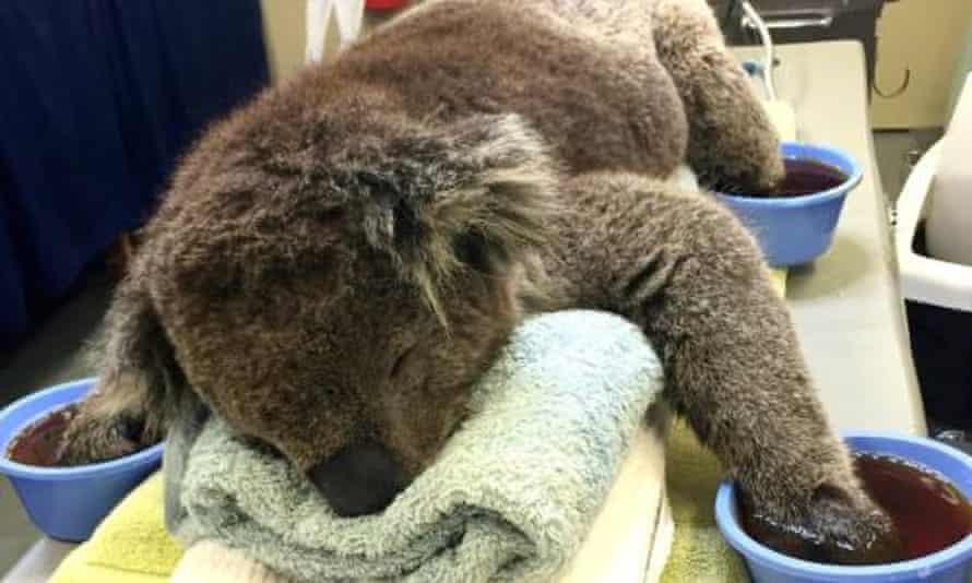 Jeremy the koala receives treatment for burnt paws.