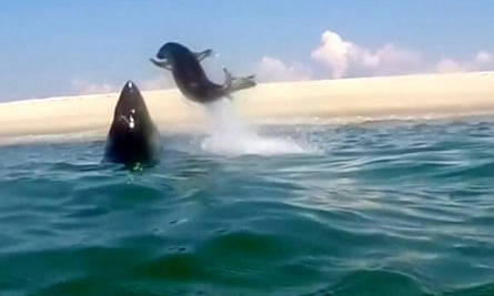 A great white shark chases a seal off the Massachusetts coast in Monomoy.