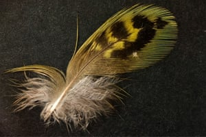 A feather from one of the world's most elusive birds, the Australian night parrot, found in South Australia, the first proof in more than a century that it lives there.