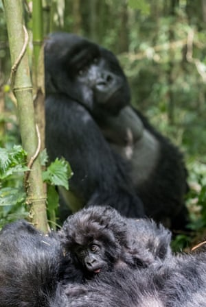 Just 880 critically endangered mountain gorillas remain in the wild, facing threats of habitat destruction and human-wildlife conflict.