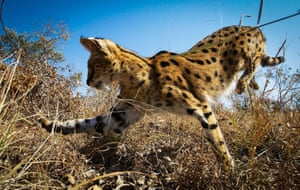 A serval cat in South Africa leaps 3m through the air to catch her prey – rodents