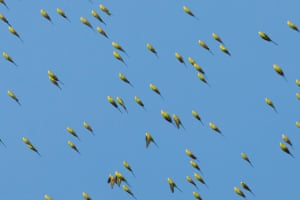 Budgies tucking their wings in as they turn and swoop.