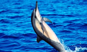 A spinner dolphin jumps out of the water off Hawaii.