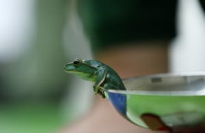 A Fea's flying tree frog tries to make a quick getaway from the weighing scales