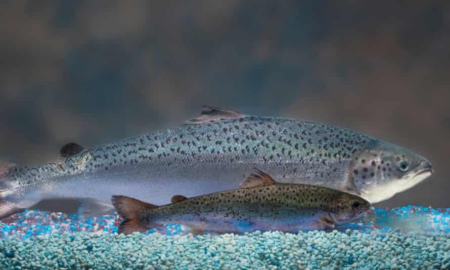 One of AquaBounty's genetically engineered salmon behind a regular salmon of the same age.