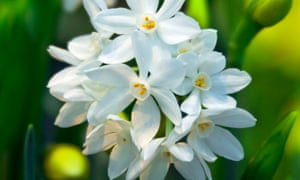 More Interesting Than Food Narcissus >> How To Grow Narcissus Paperwhite Alys Fowler Life And Style