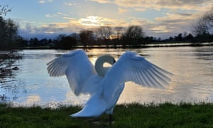 A swan stretching its wings by the Thames at Benson, Oxfordshire.