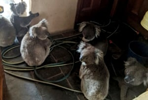 Rescued koalas in a home in Cudlee Creek, South Australia