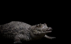 A spectacled caiman