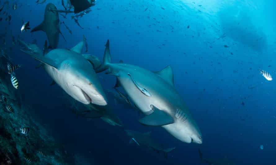 Bull shark in Fiji. A recent study has shown that bull sharks can form preferences for other shark 'friends'.