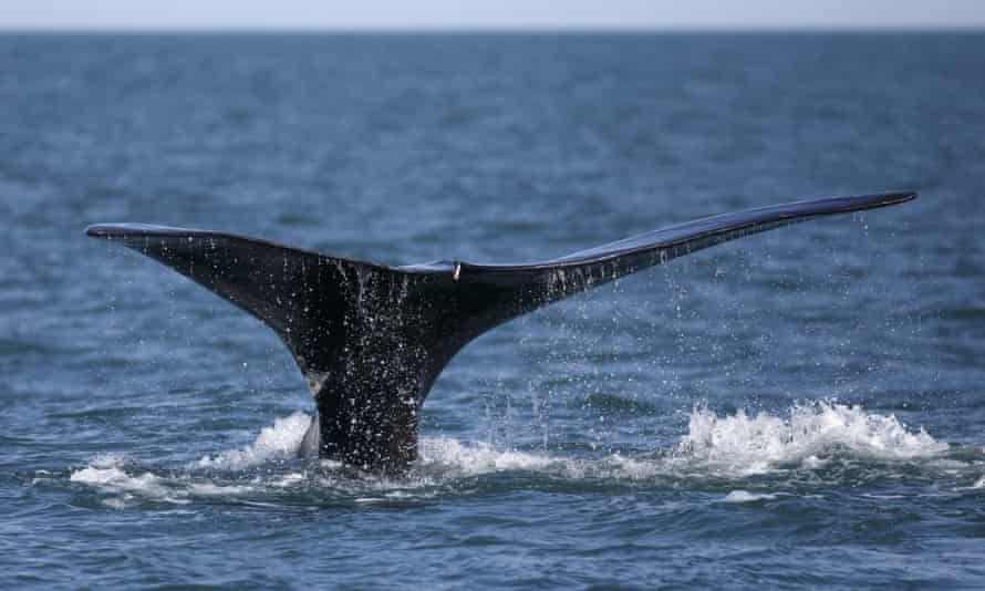 The world population of North Atlantic right whales is believed to be fewer than 450.