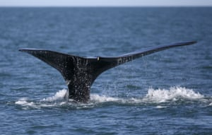 A North Atlantic right whale feeds on the surface of Cape Cod bay off the coast of Plymouth, Massachusetts, US