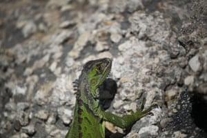 An iguana in Miami, Florida