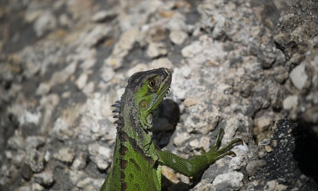 Iguanas, as it turns out, are susceptible to freezing once temperatures drop to around 40F.